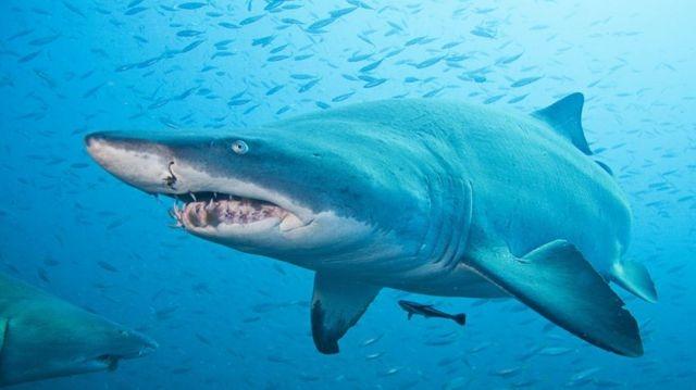 Cá Mập Hổ Cát-sát thủ máu lạnh ngay từ trong bụng mẹ.