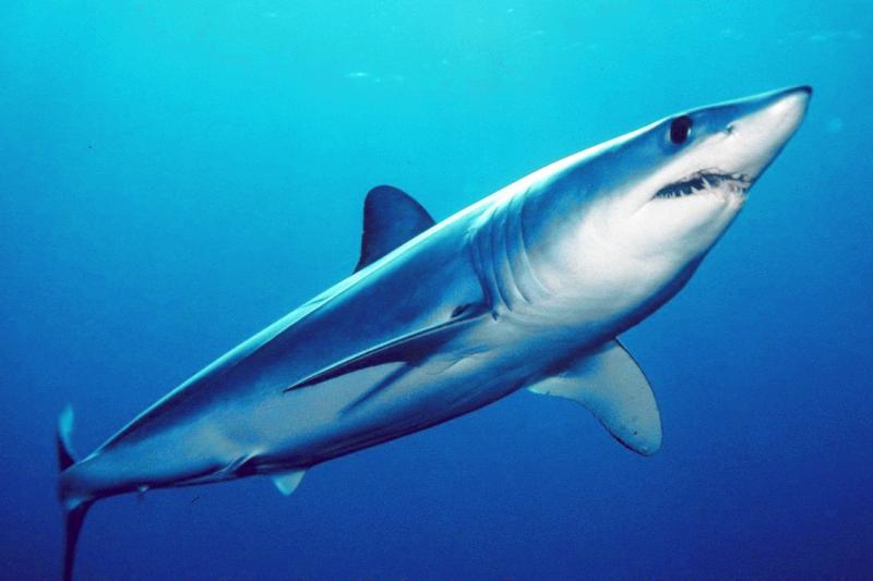 Cá mập mako vây ngắn