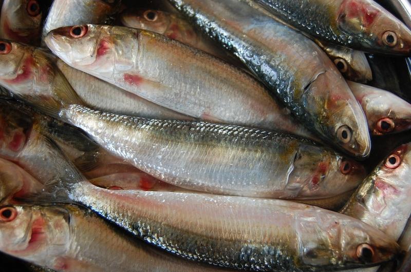 Cá mòi dầu Ấn Độ (Nguồn: Sưu tầm)