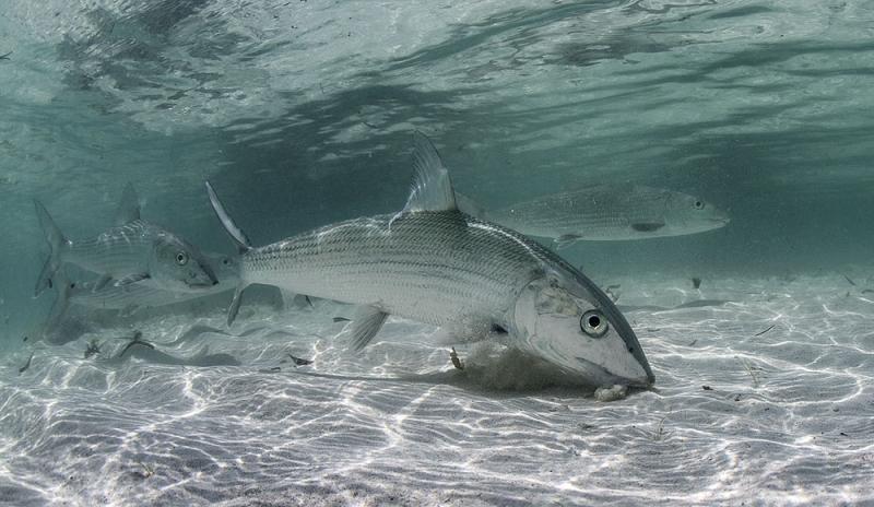 Cá mòi đường – Bonefish