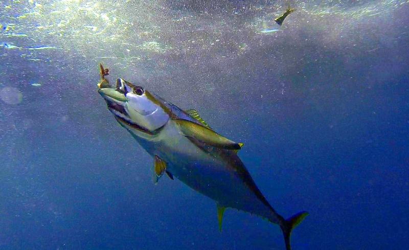Cá ngừ vây vàng – Yellowfin Tuna