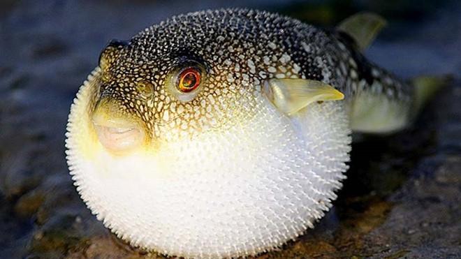 Cá nóc