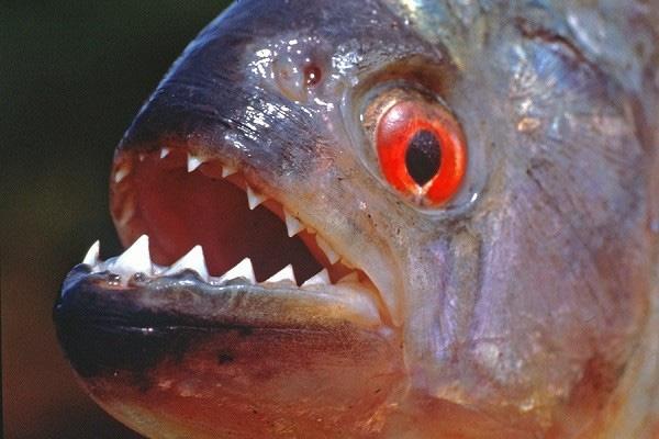 Cá Piranha sở hữu những chiếc răng hình tam giác, sắc như một con dao cạo.