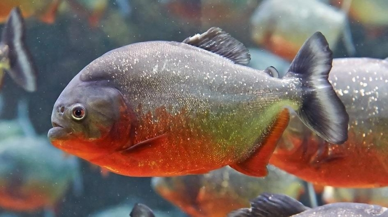 Cá Piranha bụng đỏ