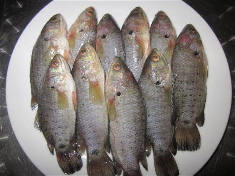 Hình ảnh cá rô đồng