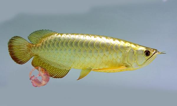 Cá Rồng 1068