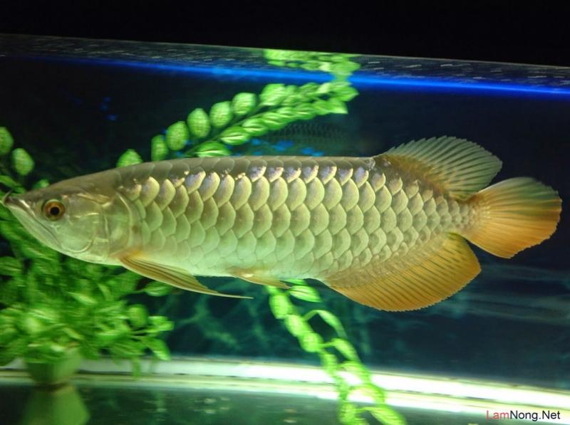 Cá rồng nước ngọt vảy vàng
