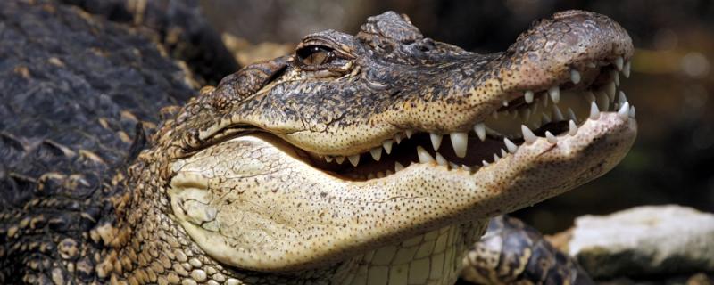 Trong điều kiện thức ăn khan hiếm, cá sấu còn ăn thịt cả đồng loại của mình.
