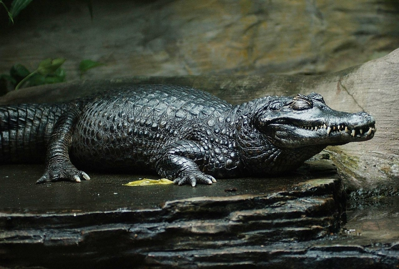 Cá sấu Caiman đen là loài gây nguy hiểm nhất cho loài người.