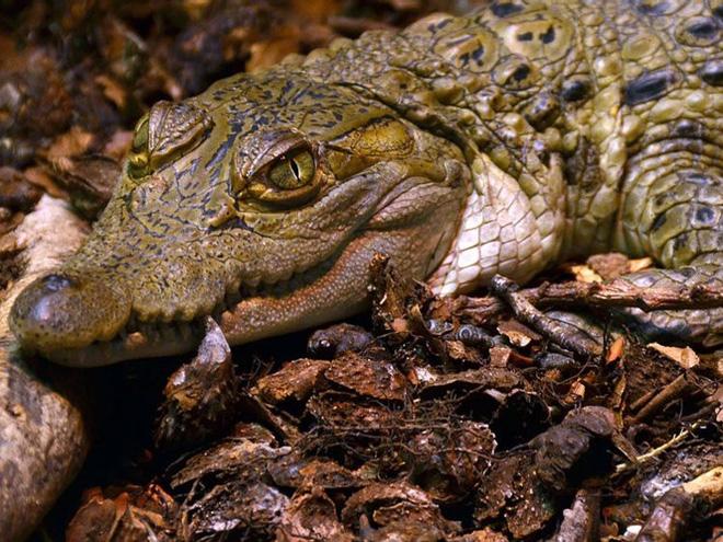 ố lượng cá thể cá sấu Philippines chỉ còn dưới 200 con