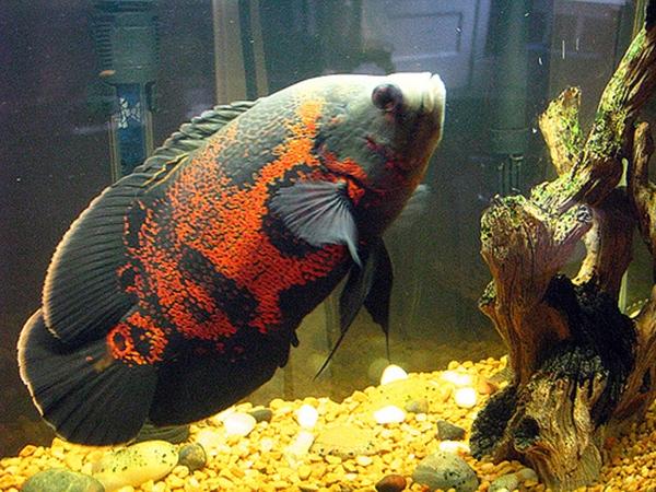 Loài cá dữ này thường được nuôi riêng và bể nuôi trang trí đơn giản.