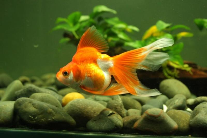 Cá vàng trong bể thủy sinh làm tăng thêm màu sắc sinh động cho bể.