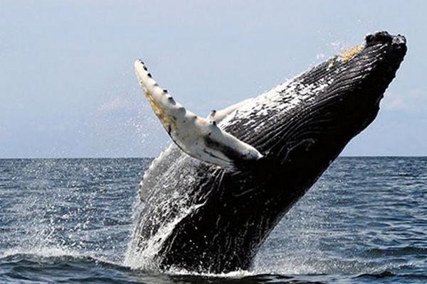 Cá voi tấm sừng