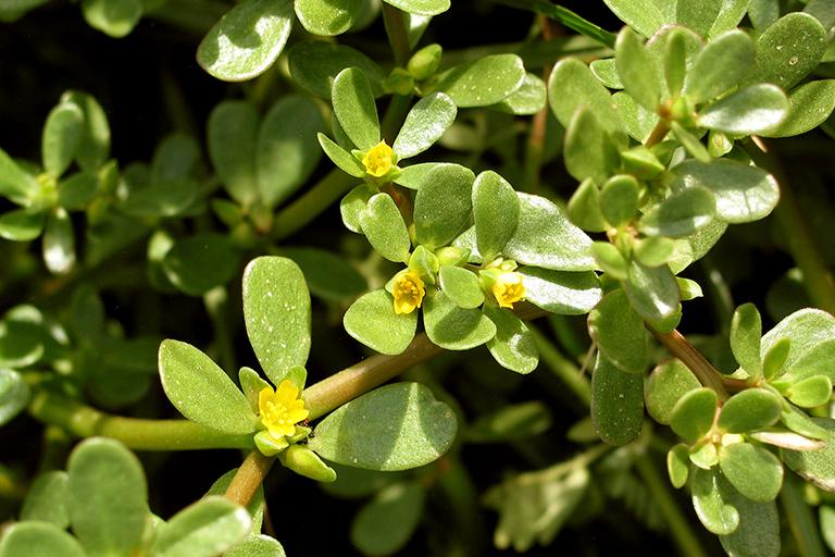 Bài thuốc xông chữa bệnh trĩ bằng cây rau sam