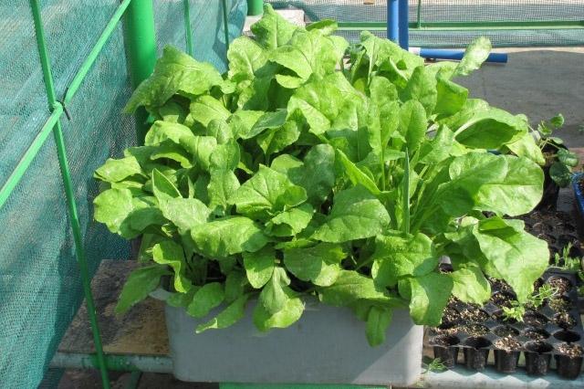 Những quốc gia phương Tây luôn rất yêu thích loại rau này vì chúng vô cùng tốt cho sức khỏe.