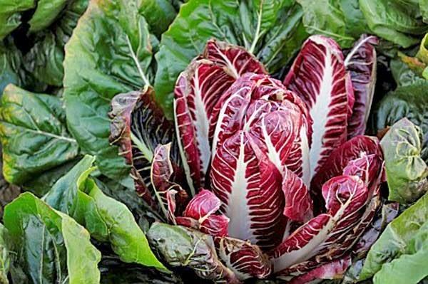 Cải thảo đỏ là thực phẩm lý tưởng cho việc ăn kiêng vì chứa rất ít calo và không hề chứa chất béo cũng như cholesterol