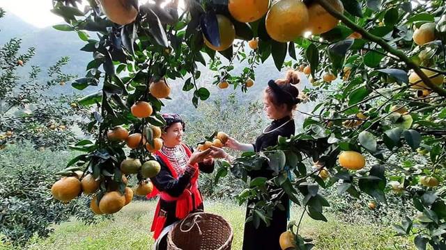 Vườn cam sai trĩu quả đang tới mùa thu hoạch