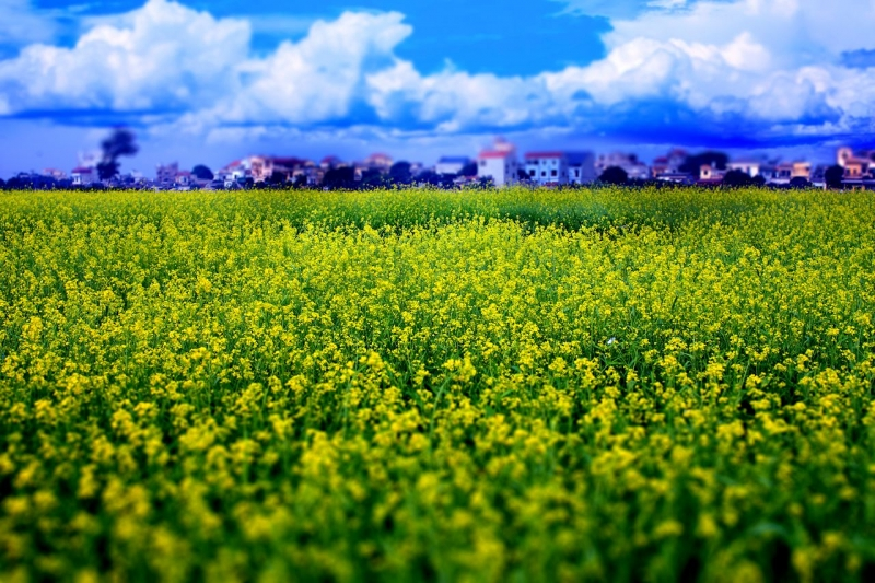 Hương hoa cải thơm thoang thoảng trong gió thu hút bướm, ong tìm tới hút mật