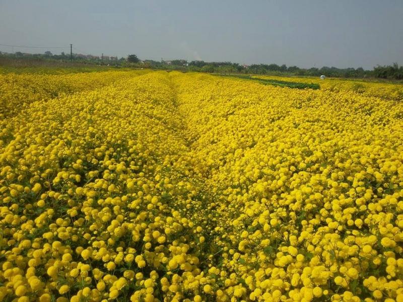 Những khóm hoa tầng tầng lớp lớp, tạo nên một không gian rực vàng