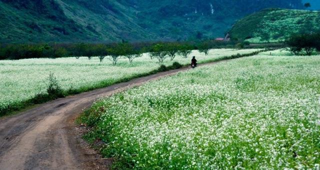 Hoa nở rộ mang sắc trắng tinh khôi