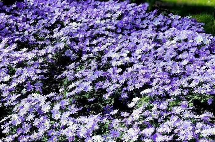 Cánh đồng hoa cúc thạch thảo ở Đà  Lạt