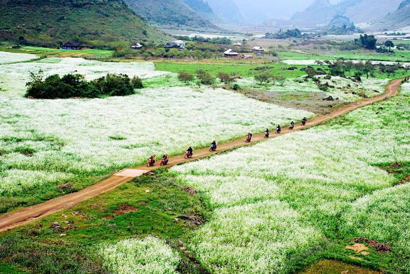 Cánh đồng hoa cải trắng ở Mộc Châu, Sơn La