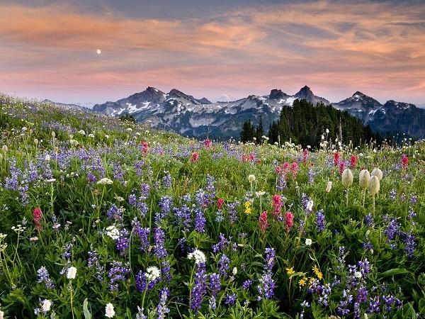 Cánh đồng hoa dại ở Vườn Quốc gia Mount Rainier, Mỹ