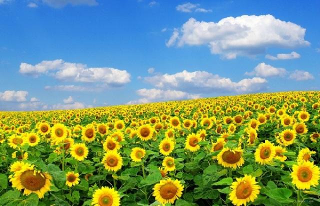 Cánh đồng hoa hướng dương- Nghĩa Đàn