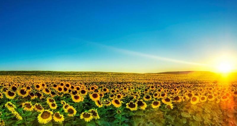 Cánh đồng hoa hướng dương ở Tuscany - Ý