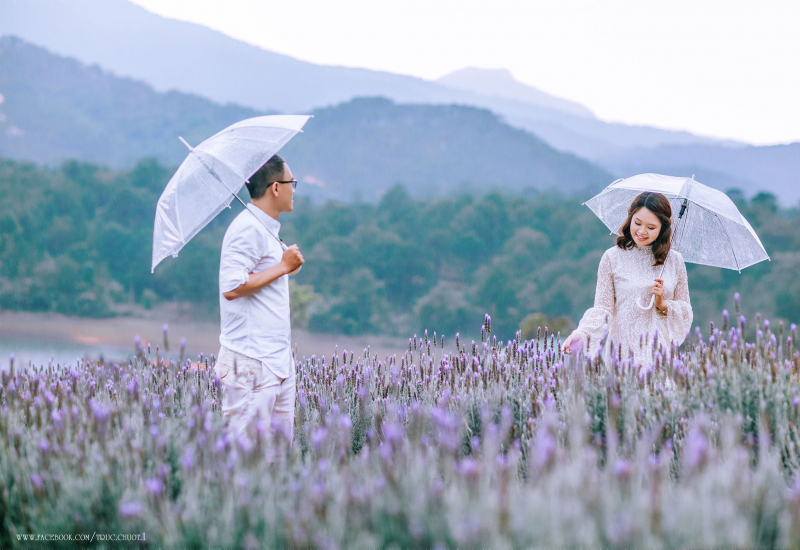 Ảnh cưới tại cánh đồng hoa Lavender Đà Lạt