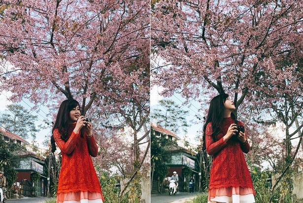 Cánh đồng hoa Mai Anh Đào