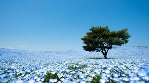 Cánh đồng hoa Nemophila