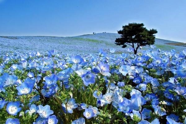 Cánh đồng hoa Nemophila – công viên Hitachi, Nhật Bản