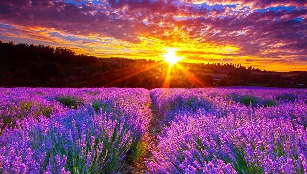 Top 10 cánh đồng hoa oải hương đẹp nhất thế giới