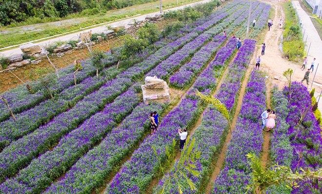 Cánh đồng hoa tím đẹp như trời Âu ở Bắc Hà