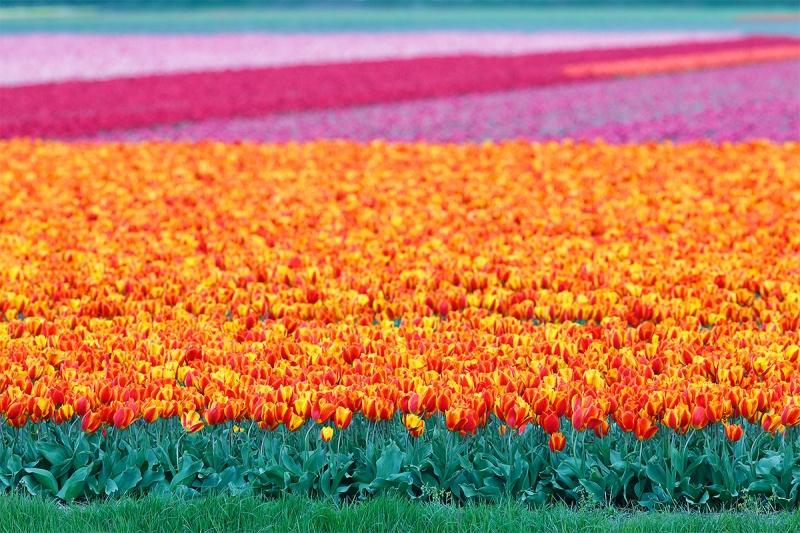 Cánh đồng hoa Tuylip với hàng triệu bông hoa lung linh khoe sắc