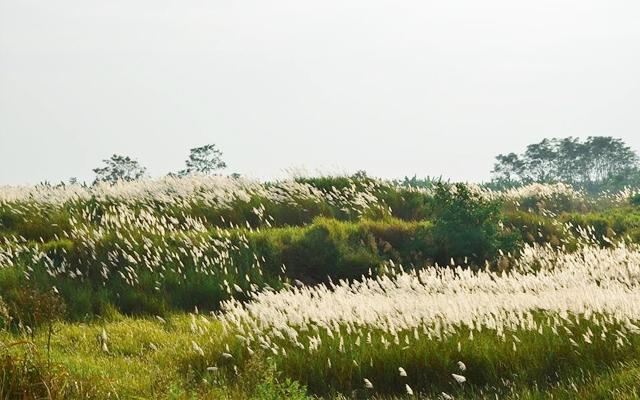 Những bông lau nở trắng muốt trên những triền núi ở Bình Liêu