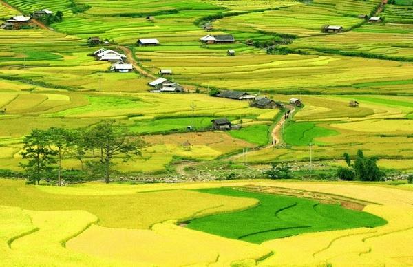 Những cánh đồng lúa chuyển màu vàng óng ánh trải dài đến tận chân trời