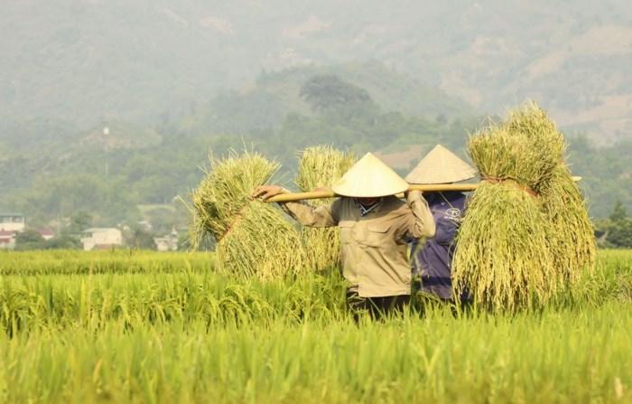 Những người dân Điện Biên đang tất bật cho vụ mùa mới trên cánh đồng Mường Thanh.