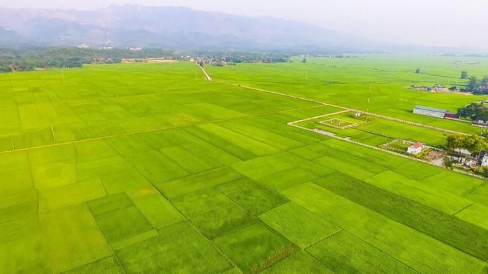 Cánh đồng Mường Thanh xanh ngát trải dài