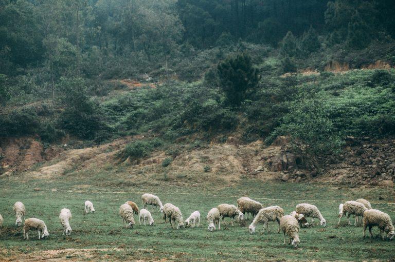 Cánh đồng nuôi cừu