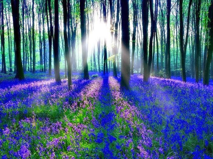 Cánh rừng hoa chuông xanh