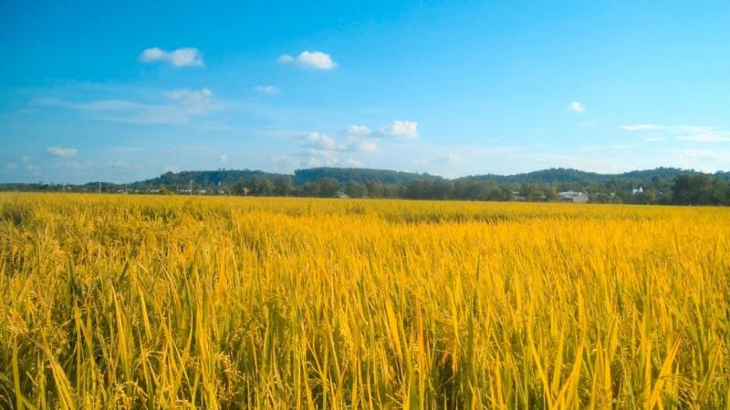 Phóng tầm mắt ra xa là cánh đồng lúa vàng ươm.