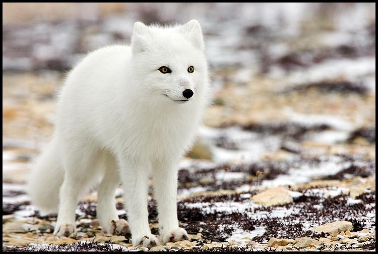 Cáo Bắc Cực có bộ lông trắng phau như tuyết