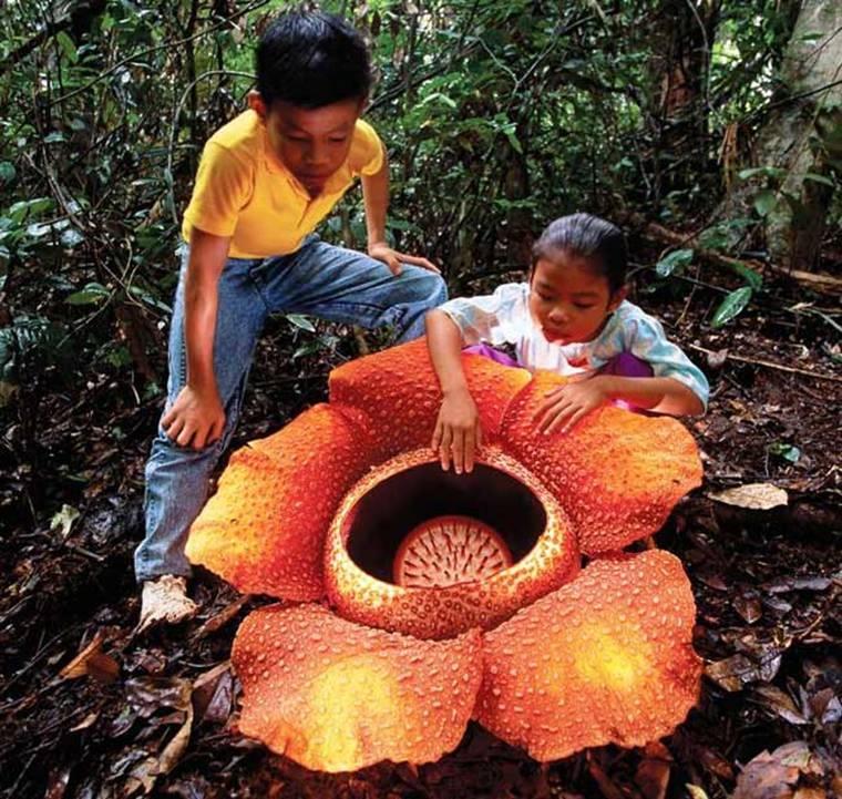 Hoa Rafflesia