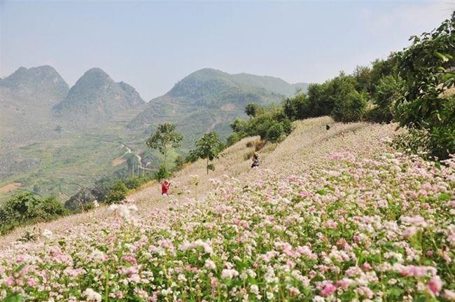 Nét hữu tình ở đây được bao phủ bởi sắc hoa nở rộ của những đóa hoa tam giác mạch đẹp đến mê hồn
