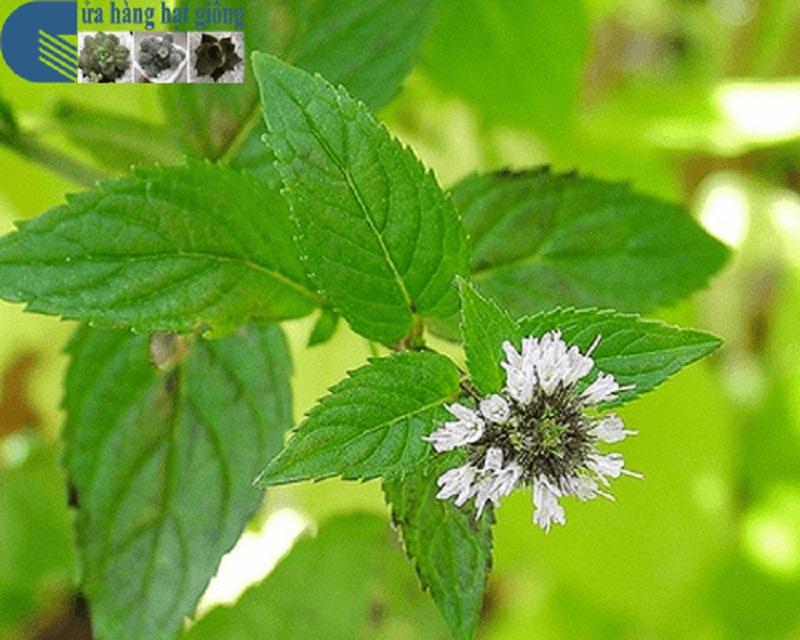 Hoa bạc hà đậu ở ngọn hoặc nách lá, có màu tím nhạt