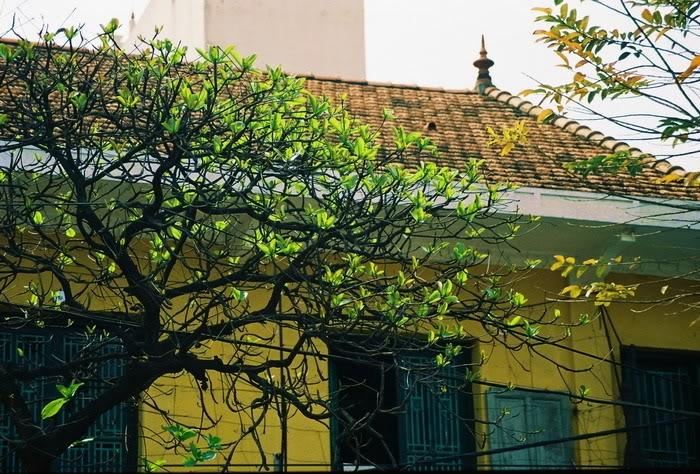Cây bàng lẻ loi mùa đông là thế, nhưng khi mùa xuân tới, những búp non xanh bắt đầu hé chào nắng