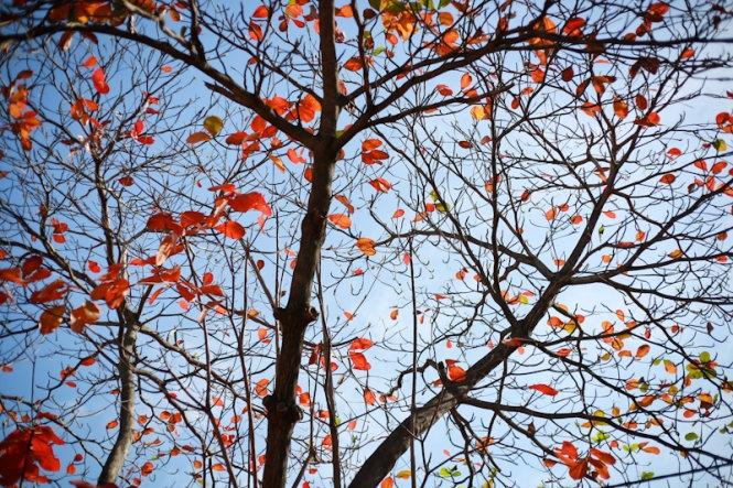 Khi mà những chiếc lá đỏ ối rụng gần hết, làn gió mùa heo hút thổi qua, chỉ còn vài chiếc lá đỏ còn lại trơ trọi và đơn độc