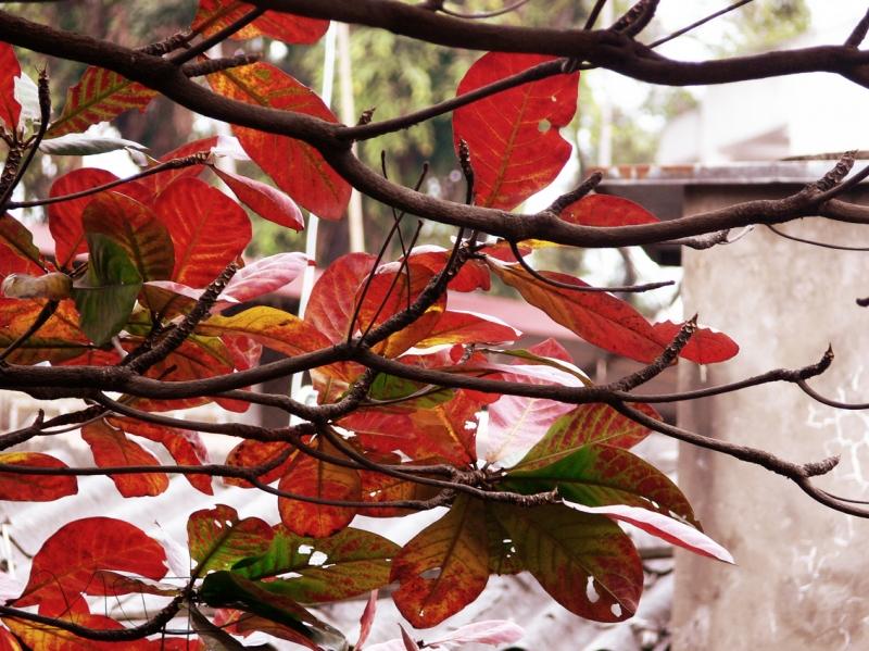 Lá bàng chuyển mùa với sắc đỏ rớt xuống giữa mùa đông